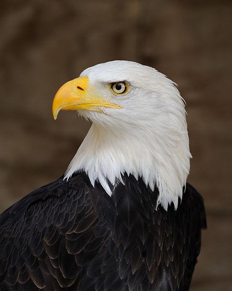 479px-Bald_Eagle_Portrait