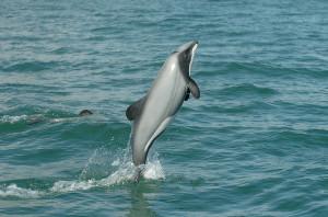 maui-dolphin-300x198