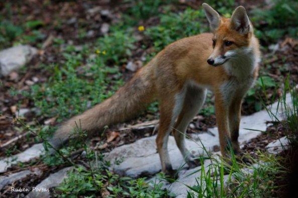 European Red Fox (Slovenia)