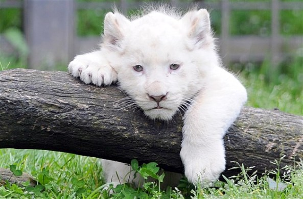 small_lion