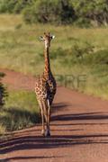 tmp_6735-giraffe-765038878.jpg