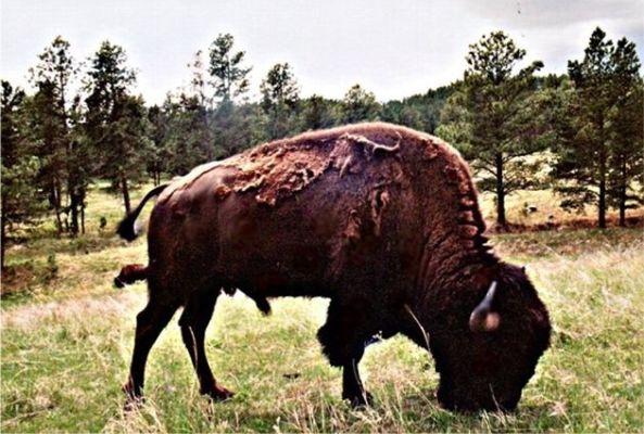 buffalobh1