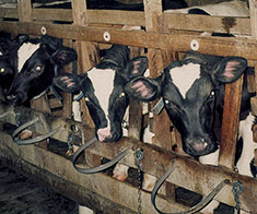 Crated_Calves