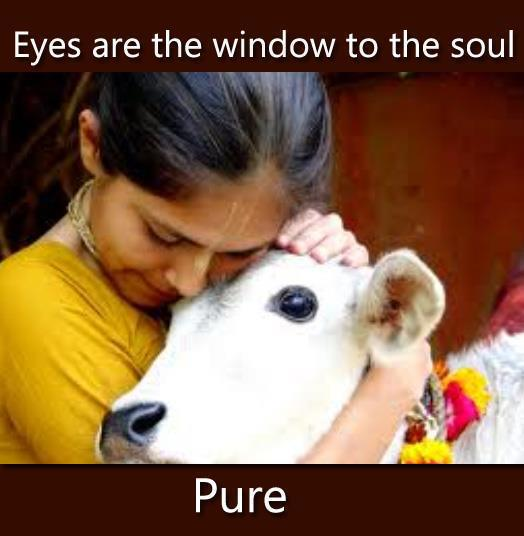 Even if the Indian cow eats paper and plastic surprisingly there is negligible effect on its milk and urine as they take all ill effects in its own body.
