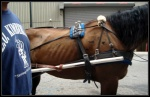 Seriously underweight Atlanta carriage horse - needs about 150 lbs at least.  Why is this horse being allowed to work?