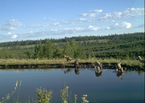 Imnaha Pack 5 wolf pups 2013 Oregon