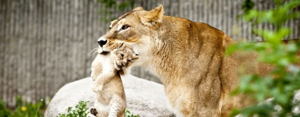 lions_cubs_danish_zoo