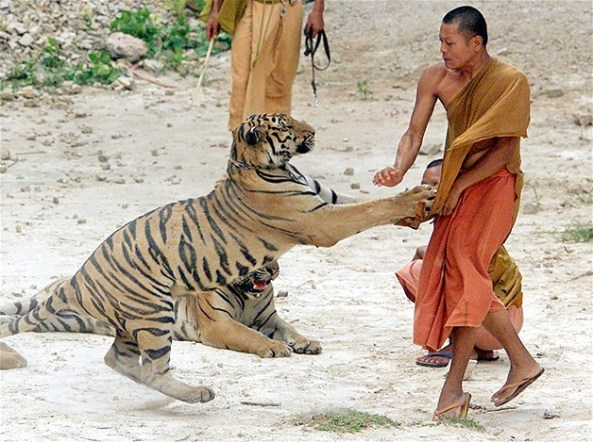 monk_thai_tiger