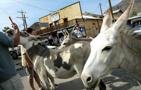 Oatman burros, Arizona.