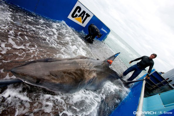 Catching and tagging a great white shark is no easy feat.
