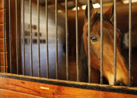 Tennessee Walking horse watches worriedly during horse soring inspections following an undercover operation by HSUS. Photo: HSUS.