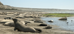 Elephant seals, southern right whales and Magellanic penguins all thrive on the Península Valdés, a newly declared Biosphere Reserve in Argentina. WCS has worked to protect wildlife in this region since the 1960s. G. Harris