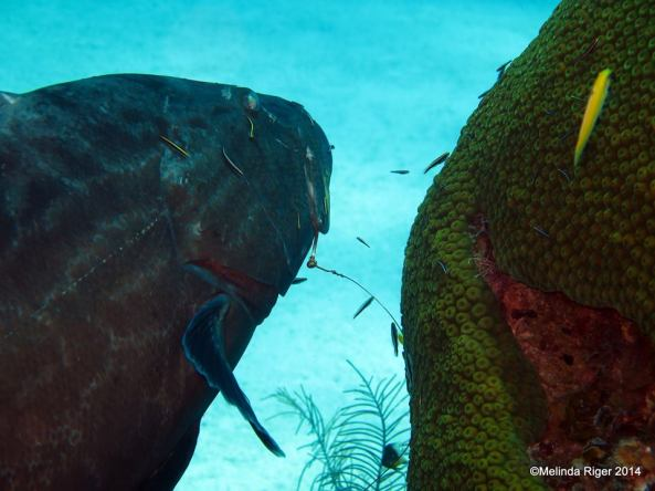 Grouper, Black, at cleaning station (+ hook) ©Melinda Riger @ GB Scuba copy