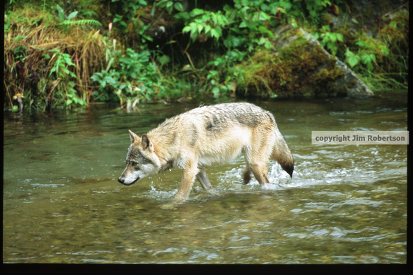 copyrighted wolf in water
