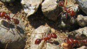 red-harvester-ants1