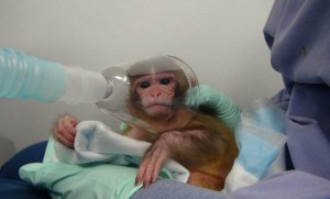 Baby-Monkey-Forced-to-Inhale-Drugs1-610x370