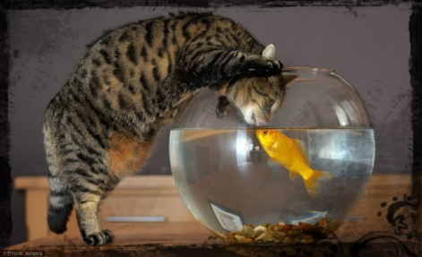 Cat looks intently at goldfish