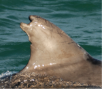 The infamous Clet, an irish dolphin, from his distinctive dorsal fin