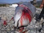 Stranded dead mother at Kastri, Heraklion, SE Crete on 3/4/2014.