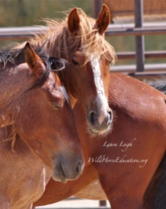 Newly captured wild horses in holding