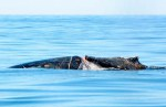 A humpback whale badly injured and entangled in rope broke free from rescuers near Tofino on Sunday, Sept. 14, 2014, and headed south. Photograph by : Jim Darling , Victoria Times Colonist