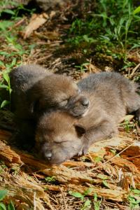 Red wolf puppies (FWS/Ryan Nordsven)