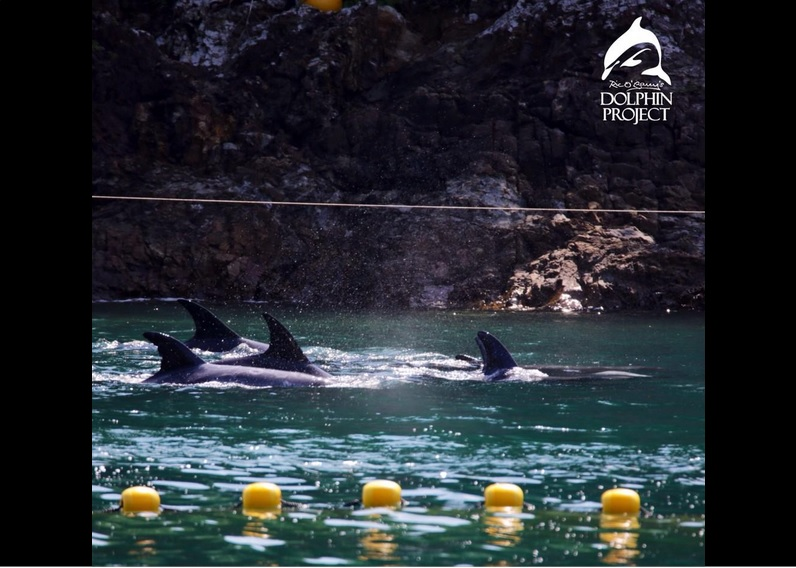A pod of Risso's Dolphins are the first victims of the Taiji Dolphin Hunting Season. by The Ric O'Barry Dolphin Project September 16,2014 (September 15, US time)