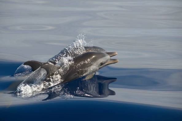 Spotted Dolphins Abaco Bahamas (BMMRO)