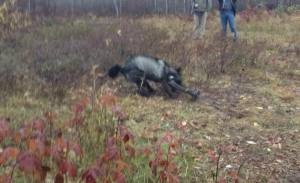 """This is what is called """"moral and ethical"""" by Wisconsin wolf killers."""