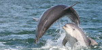 Only recently discovered, the Burrunan dolphin is now in need of urgent conservation action.AMMCF,Author provided
