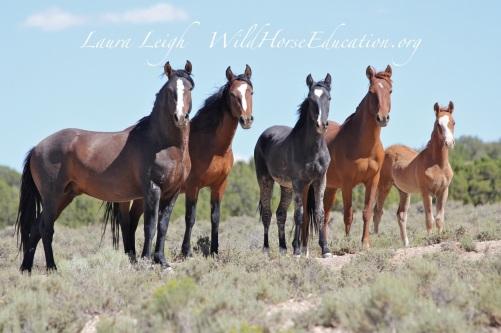 Nevada Wild Horses 2014