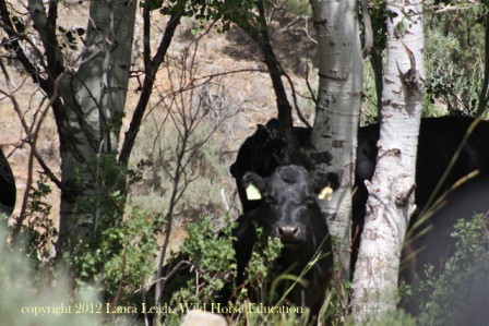 Cows in riparian area on the range in Nevada just moments after they were released onto the range