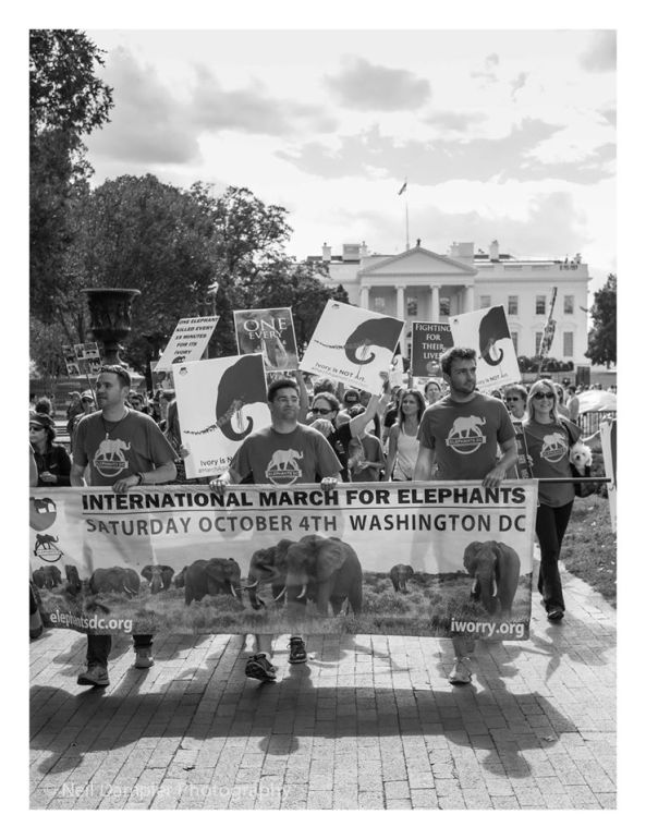 Hundreds of people marched to the White House during the 2nd Annual International March for Elephants in Washington, DC on October 4. (Photo by Neil Dampier Photography)