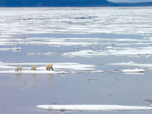 """""""A female polar bear and her two cubs dash across the ice near Gjoa Haven, where the polar bear hunt has been limited for nearly 15 years. (PHOTO BY JANE GEORGE)"""" Story here, also by Jane George."""