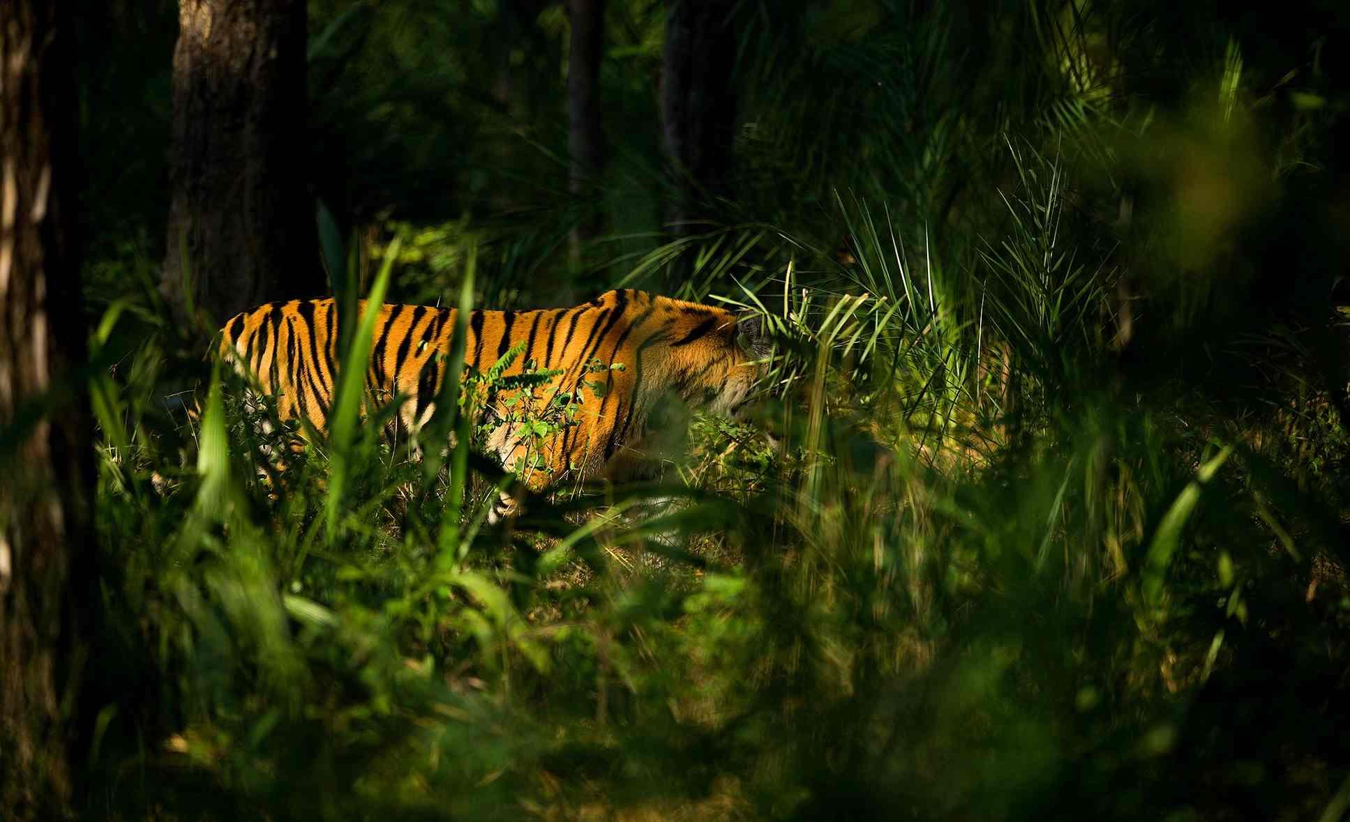 tiger by Sudhir Shivaram