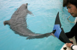 """A keeper tends to female bottlenose dolphin """"Fuji,"""" the first of her kind to receive a prosthetic tail. ISSEI KATO/REUTERS/CORBIS"""