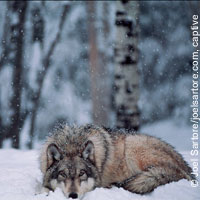 gray-wolf-resting-captive-int-wolf-center-joel-sartore