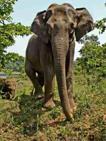 Mother and baby Asian Elephant, Periyar Tiger Reserve.  Photo credit: Milo Inman