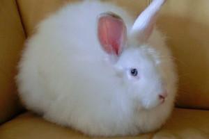 tmp_8657-white_satin_angora_rabbit-300x2251363981260