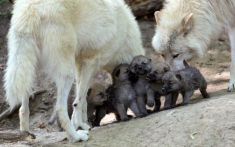Wolf Family fanpop