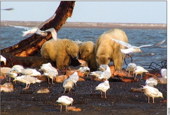 Glaucous gulls and polar bears on the carcass of a dead whale may be sharing more than a meal (Photo: USGS)