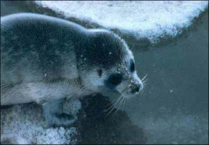 Ringed seals face an uncertain future in the rapidly warming Arctic. Photo courtesy NOAA.