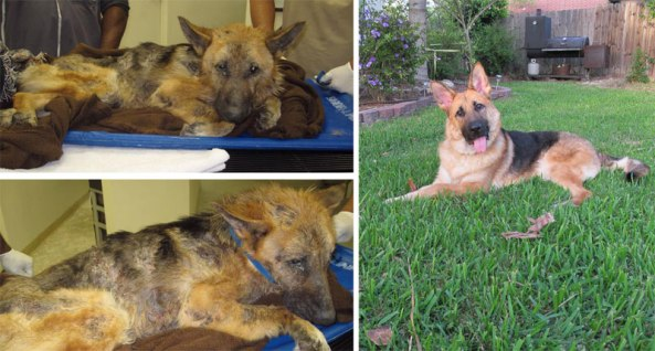before and after pics of adopted dogs (16)