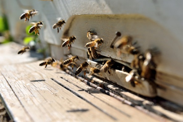 Continued Downfall of the Bee Only Intensifies Malnutrition