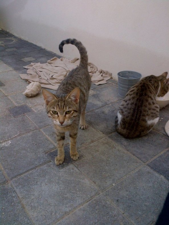 friendly cats adopt a pet in Oman.jpg3