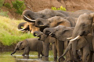herd-of-African-elephants_shutterstock_54180163