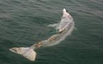The injured dolphin was found off Lantau. Photo : Gary Stokes