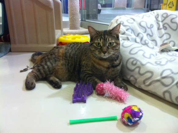 cats, declawed cats, tabby cats, Adopt don't shop, Cat rescue, Toronto, Toronto Animal Services, animal shelters,  Don't Declaw cats, The Paw Project,  Humane alternatives to declawing, must love cats, Ban declawing,