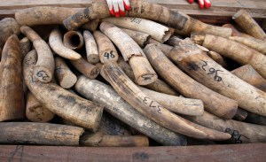 Malaysian customs officers show elephant tusks which were recently seized in Port Klang outside Kuala Lumpur