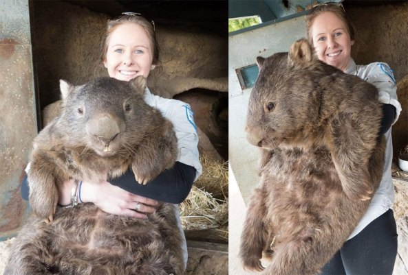 patrick the oldest and largest living wombat (8)